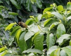 Pretty bird on a coffee plant.