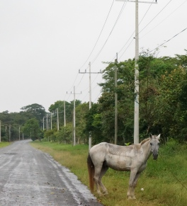 Horses are frequently seen tied in folks' front yards, often right at the edge of the road.