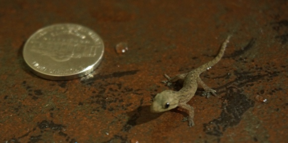 "Our first ""pet"", the house gecko. This guy's a tiny one :)"
