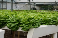 ...to full, beautiful lettuce heads!