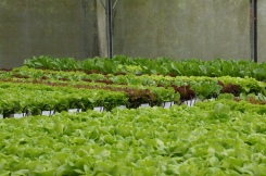 ...upon row of clean & healthy lettuce.