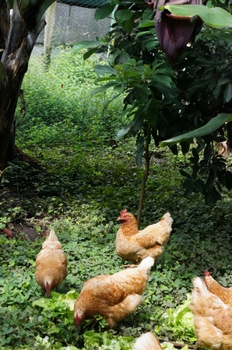 Rodrigo also has chickens. They are truly free range and eat some of Rodrigo's lettuce. The eggs are for sale and are fantastic!
