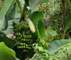 Bananas, of course