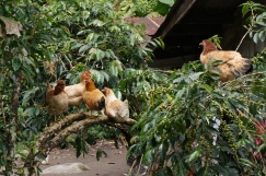 Chickens up in a large coffee plant