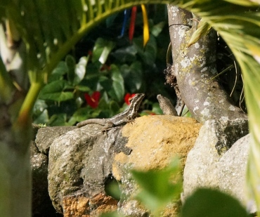 A common basilisk, aka Jesus Christ lizard (it can run on the surface of water) sunning himself.