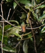 Back of rufous-tailed hummingbird