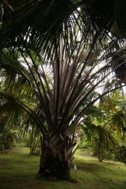 This palm's fronds have sharp teeth on the edges and grow out in a spiral causing...