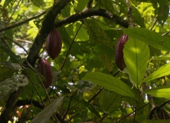 Chocolate's humble beginnings...the cacao nut!